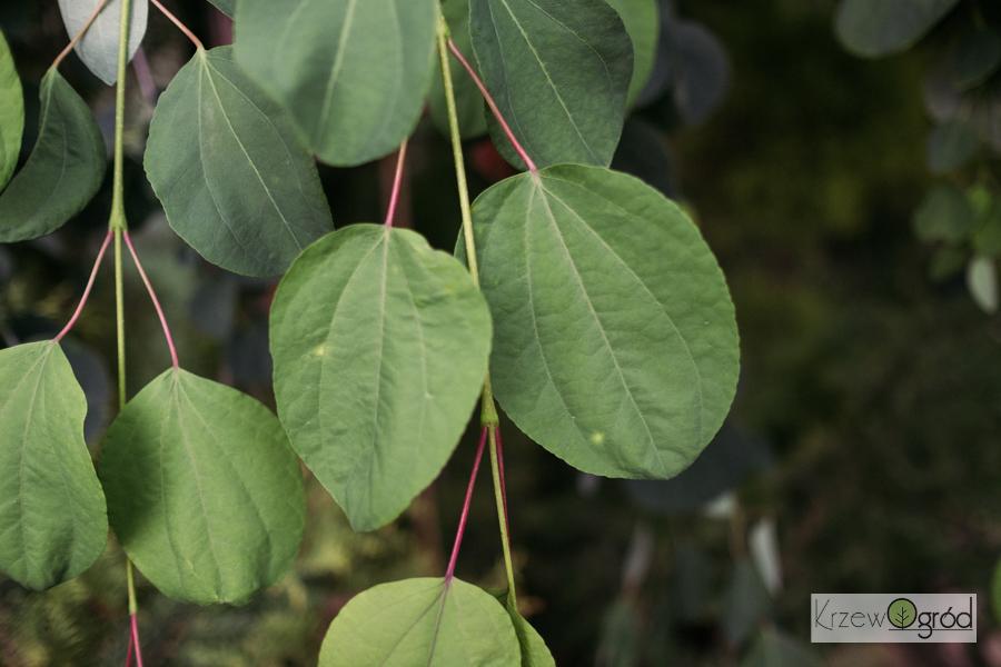 Grujecznik japoński 'Pendulum' (Cercidiphyllum japonicum)