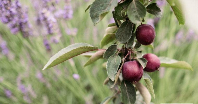 Jabłoń 'Apollo' (Malus) [niedostęna]