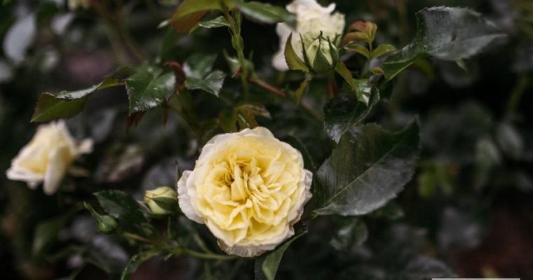 róża rabatowa 'Solero' (rosa) [niedostępna]