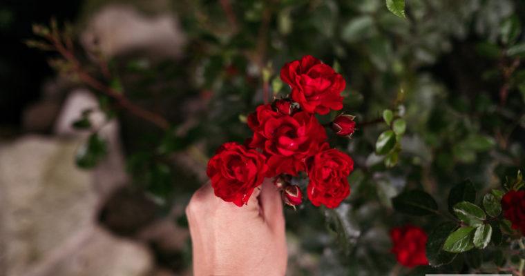 róża okrywowa 'Red Fairy' MOREDFAR (rosa) [niedostępna]