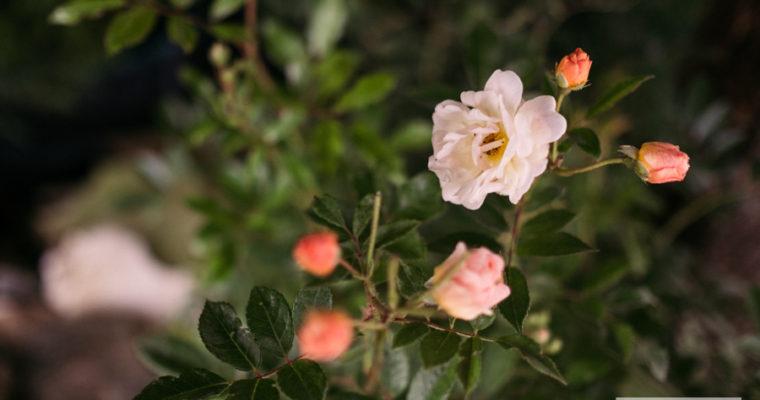 róża pnąca 'Ghislaine de Féligonde' (rosa) [niedostępna]
