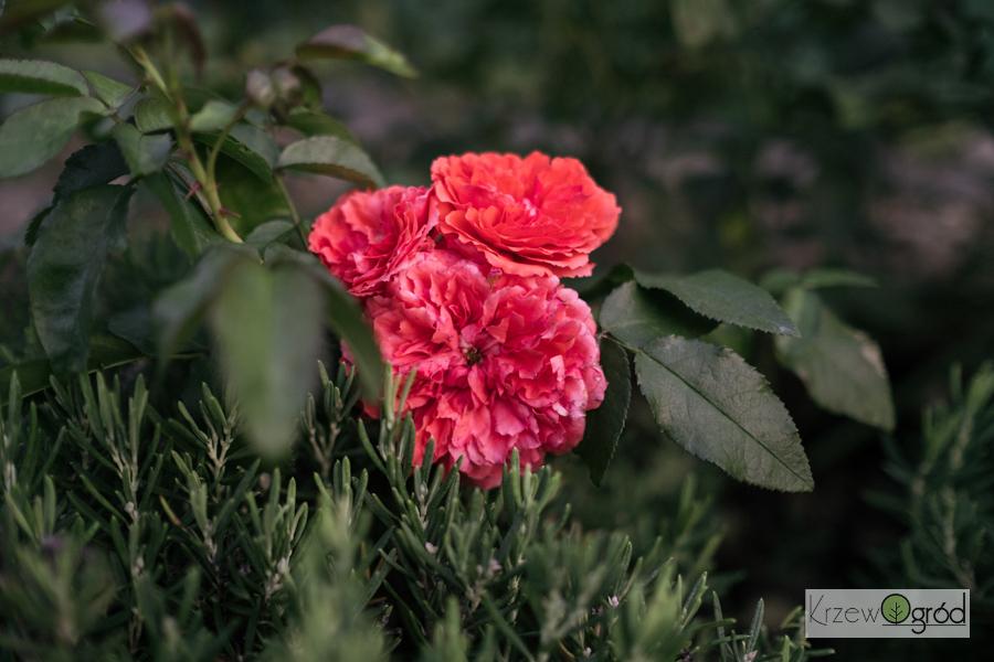 Róża parkowa 'UETERSENS ROSENKÖNIGIN' [niedostępna]