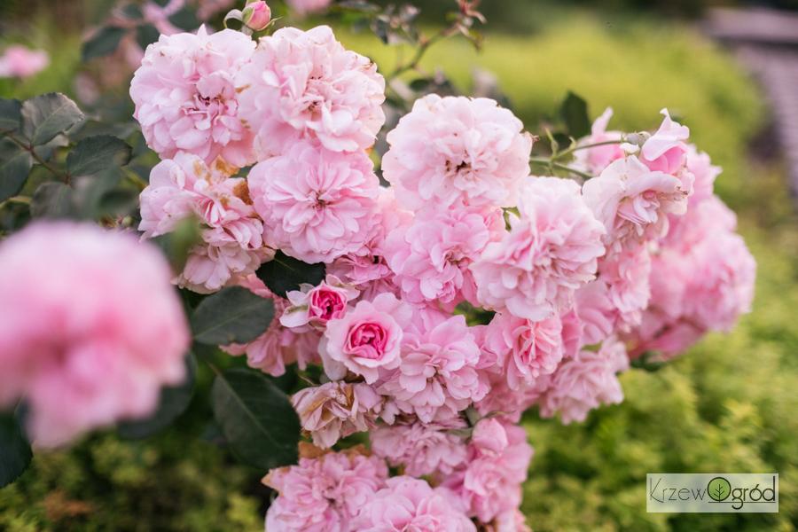 roża rabatowa 'Bonica' 82 [niedostępna]