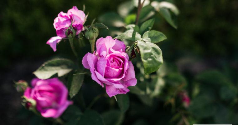 róża parkowa 'Thérèse Bugnet' [niedostępna]