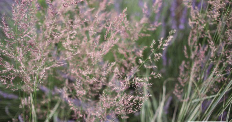 Trzcinnik ostrokwiatowy 'Overdam' (Calamagrostis acutiflora)